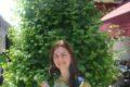 Ginkgo biloba - l'albero che diventa medicinale